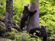 Eurasian brown bears in forest Stock Photo