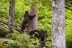 Eurasian brown bears in forest Stock Photos