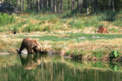 Eurasian brown bears Stock Photos