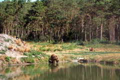 Eurasian brown bears Royalty Free Stock Images