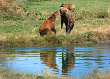 Eurasian brown bears Stock Images