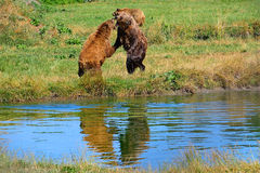 Eurasian brown bears Royalty Free Stock Photography