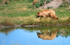 Eurasian brown bears Royalty Free Stock Photos