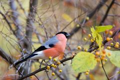 Eurasian Bullfinch Royalty Free Stock Images