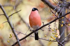 Eurasian Bullfinch Stock Photo
