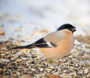 Eurasian Bullfinch Royalty Free Stock Image