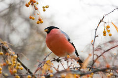 Eurasian Bullfinch Stock Photography