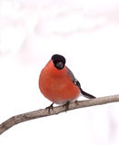 Eurasian Bullfinch Stock Photos