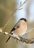 Eurasian Bullfinch Stock Photography