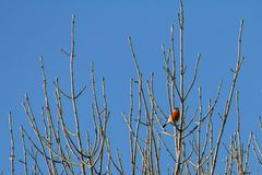 Eurasian bullfinch on branch against blue sky on sunny spring day stock image