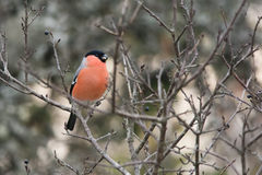 Eurasian bullfinch Royalty Free Stock Photos
