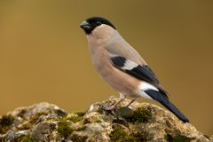 Eurasian bullfinch Stock Images