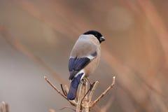 Eurasian Bullfinch female royalty free stock images