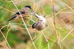 Eurasian Bullfinch female Royalty Free Stock Photo