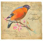 Eurasian Bullfinch - An hand painted vector Stock Photos