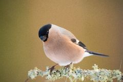 Eurasian Bullfinch Royalty Free Stock Photo