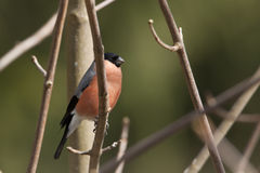 Eurasian bullfinch perched on a branch , Vosges, France Royalty Free Stock Photography