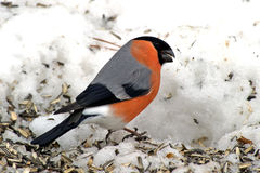 Eurasian Bullfinch (Pyrrhula_pyrrhula). The Eurasian Bullfinch (Pyrrhula_pyrrhula) among sunflower seeds in the snow in Uppland, Sweden stock photos