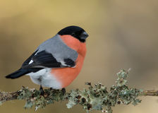Eurasian Bullfinch (Pyrrhula pyrrhula) Royalty Free Stock Photo