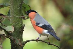 Eurasian bullfinch Royalty Free Stock Photography