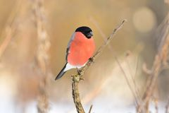 Eurasian bullfinch sitting on a protruding branch on a soft background of dry grass and shrubbery. Royalty Free Stock Images