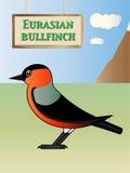 Eurasian bullfinch Stock Photos