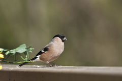 Eurasian bullfinch , in Vosges mountains, France Stock Image