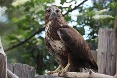 Eurasian buzzard (Buteo buteo) Stock Images