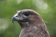Eurasian buzzard (Buteo buteo) Stock Image