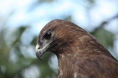 Eurasian buzzard (Buteo buteo) Royalty Free Stock Photos