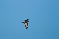 Eurasian buzzard. Flying and searching for prey Royalty Free Stock Photo