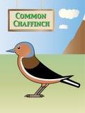 Eurasian chaffinch Royalty Free Stock Image