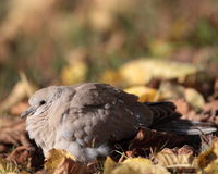 Eurasian Collared Dove. Also known as turtledove (Streptopelia decaocto Royalty Free Stock Photography