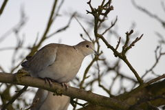 Eurasian collared dove. The Eurasian Collared Dove, Streptopelia decaocto, also spelled Eurasian Collared-Dove or called simply the Collared Dove,is one of the Royalty Free Stock Image