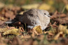 Eurasian Collared Dove Royalty Free Stock Photos