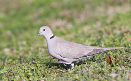 Eurasian Collared Dove royalty free stock photo
