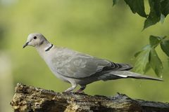 Eurasian Collared Dove Stock Image