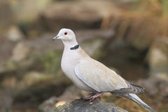 Eurasian collared dove. The eurasian collared dove sitting on the rock Royalty Free Stock Image