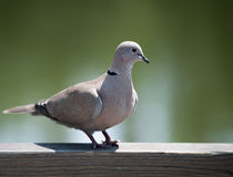 Eurasian Collared Dove. Sitting on a wooden surface on the background of a uniform tone Royalty Free Stock Photography