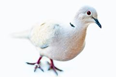 Eurasian Collared Dove - closeup Royalty Free Stock Images