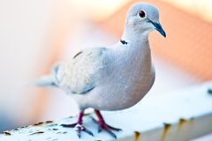Eurasian Collared Dove - closeup Royalty Free Stock Photography