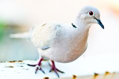 Eurasian Collared Dove - closeup Stock Photography
