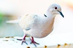 Eurasian Collared Dove - closeup Stock Photography