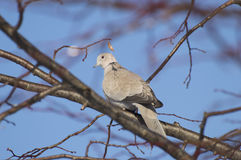Eurasian collared dove. Collared Dove environment is the branch of a tree Royalty Free Stock Images