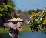 Eurasian Collared Dove Stock Photography