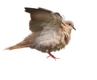 Eurasian Collared Dove flying isolated on white Stock Photo