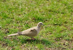 Wild bird. Eurasian collared dove. Green grass background royalty free stock photo