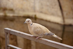 Eurasian collared dove, latin name Streptopelia decaocto resting. Alone on an iron railing royalty free stock photography