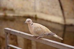 Eurasian collared dove, latin name Streptopelia decaocto resting Royalty Free Stock Photography