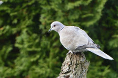 Eurasian collared dove Stock Photo